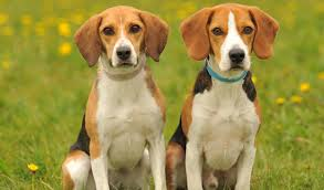 human beagles